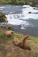 Brown bears fishing for salmon at the Brooks Falls, Brooks River, Katmai National Park, Alaska