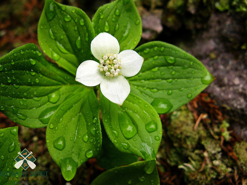 &quot;Bunchberry After the Rain&quot;<br /> <br /> A Bunchberry (Cornus canadensis) stands drenched after a spring rain in Judge C. R. Magney State Park. Bunchberries, a member of the Dogwood family, have become one of my favorite woodland plants. They are beautiful, interesting, and ever-changing throughout the growing season.