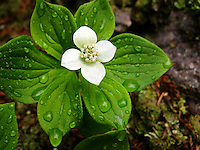 &quot;Bunchberry After the Rain&quot;<br />