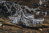 Fungal hyphae on rotting wood