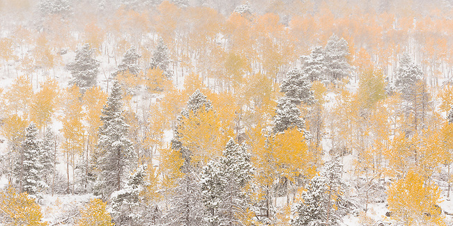 forest cathedrals of shape and color during autumn snowstorm on Bierstadt Moraine in Rocky Mountain National Park, Colorado, USA