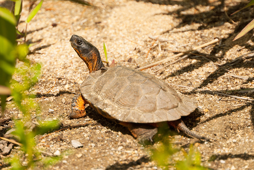 A very rare encounter with a Wood Turtle, an image I'm very happy to have gotten !