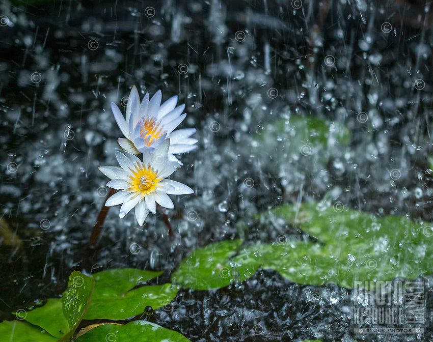 Water lilies stand firm as the deluge of rain overwhelms their home in Kalihi, O'ahu.