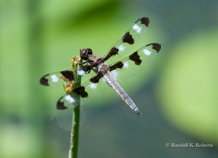 Twelve-spotted Skimmer (Libellula pulchella) is a common North American skimmer dragonfly.