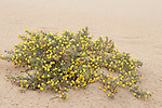 Broom, Fabaceae sp, on sand dunes, Corralejo Dunes National Park (Parque Natural de las Dunas de Corralejo), Fuerteventura, Canary Islands, Spain