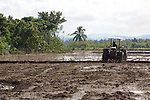 Cultivating Rice Field, Los Haitises
