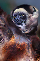 678703006 a captive zoo animal verreauxs sifaka propithecus verreauxi hangs from a limb in its zoo enclosure - species is native to madagascar and is listed as endangered