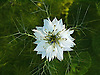 Some of the names applied to this flower are: nigella, devil-in-a-bush or love in a mist.<br />