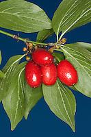 Kornelkirsche, Kornel-Kirsche, Kornellkirsche, Kornel, Kornell, Früchte, Frucht, Cornus mas, Cornelian Cherry, Cornouiller mâle