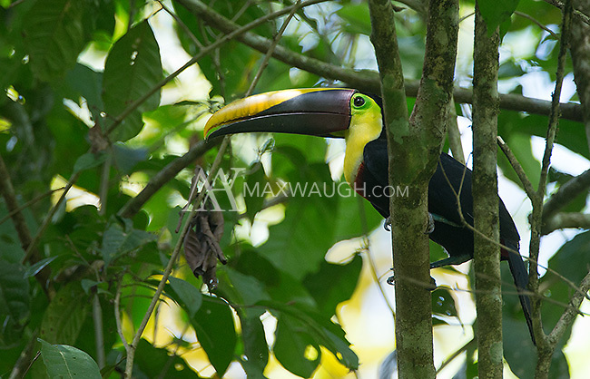 Black-mandibled toucans are one of the more common toucans seen in Costa Rica.