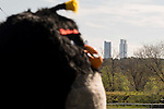 """Black Bird walking with the Four Towers Bussines Area behind during the presentation of the film """"Angry Birds"""" at Hipodromo de Zarzuela in Madrid. April 25,2016. (ALTERPHOTOS/Borja B.Hojas)"""