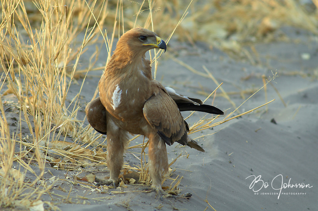 A tawny eagle (aquila rapax) resting close to the main track to the camping site.<br />