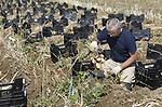 Foto: VidiPhoto<br /> <br /> RANDWIJK – Speuren naar de superpieper. Onder leiding van Wageningen Universiteit & Research (WUR) worden donderdag met de hand 400 verschillende soorten biologische aardappels met de hand gerooid en geselecteerd. Doel is om over twaalf jaar smakelijke, winstgevende en phytophthora-vrije biologische aardappelen in de schappen van de supermarkten te hebben. De huidige phytophthora-vrije piepers hebben die eigenschappen nog niet en blijven (via een omweg) ook nog gevoelig voor deze aardappelziekte. Een prototype komt volgend jaar al op de markt. De nieuwe superpieper krijgt zes zekerheden (stapelen van resistentie) ingebouwd na jarenlange veredeling. Nederland heeft daarmee een wereldprimeur, waarmee een reductie van 50 procent aan gewasbestrijdingsmiddelen bereikt kan worden. Phytophthora neemt namelijk de helft van al het chemische middelengebruik in de landbouw in beslag. Het gaat hier om een gezamenlijk project van telers, veredelaars en retail, begeleid door de WUR.