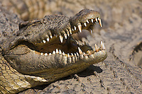 Portrait of nile crocodile with open jaw sunbathing on top of others
