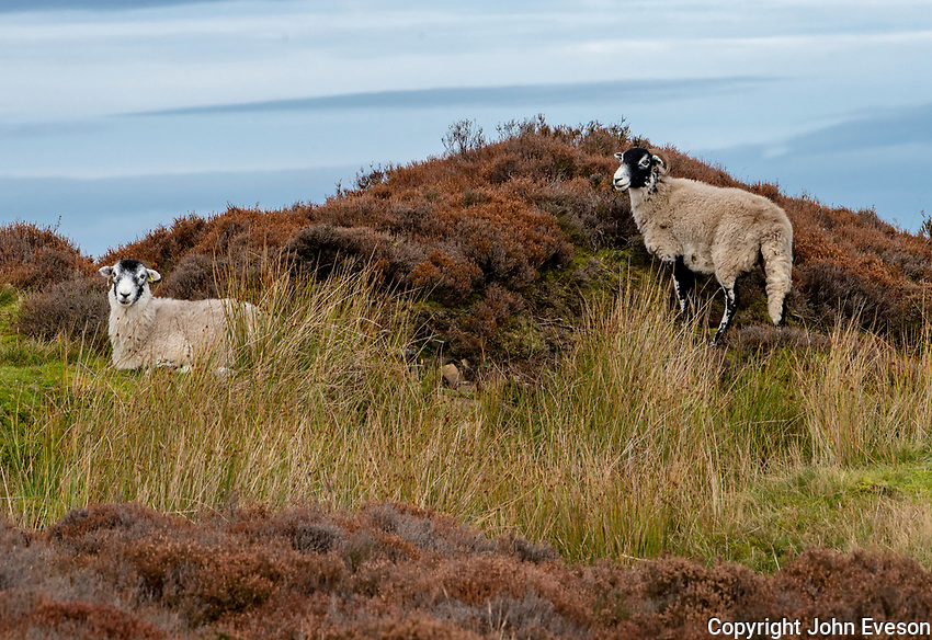 Swaledale ewes in heather near Botton Head, Lancaster, Lancashire.