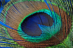 Colorful peacock feather texture background
