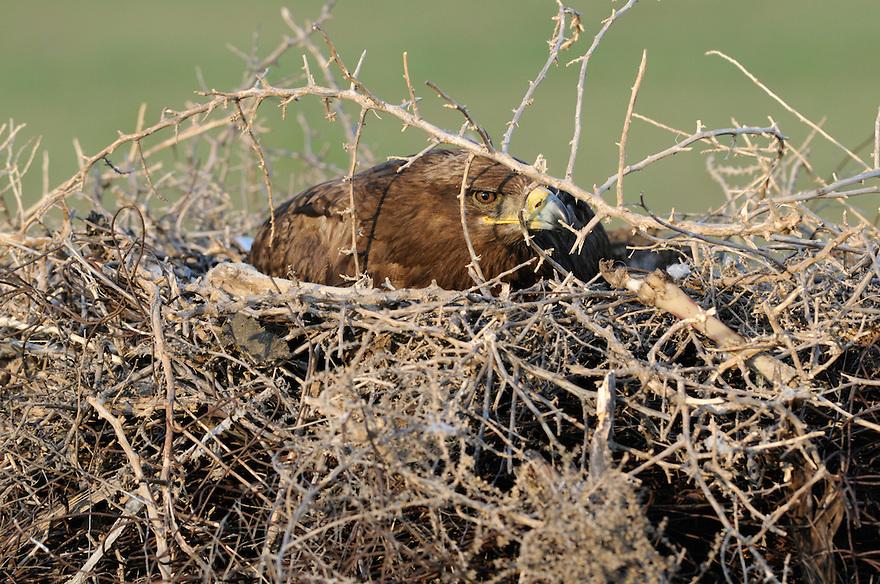 Steppe eagle (Aquila nipalensis) on its nest, Cherniye Zemly (Black Earth) Nature Reserve, Kalmykia, Russia, May 2009.Aquila rapax