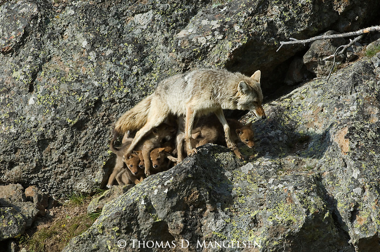 Coyote and her pups in Yellowstone National Park.
