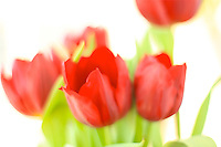 soft red tulips