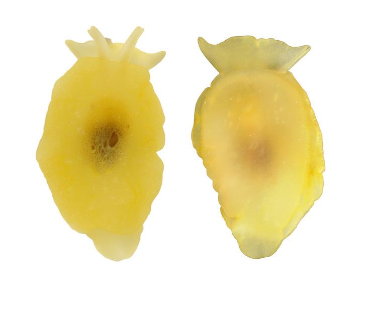 Yellow-plumed Sea Slug - Berthella plumula