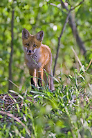 Young Red Fox standing and watching from a hill