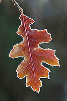 Eastern Black oak (Quercus velutina), leaf rimmed in frost, Lillington, North Carolina, USA