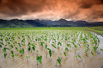 Afternoon threatening clouds hang over a Hanalei Taro field on Kauai, Hawaii, USA.