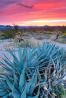 Dawn, Agave, Brittlebush, Dune Brown Eyed Primrose, Glorietta Canyon, Anza-Borrego Desert State Park, California