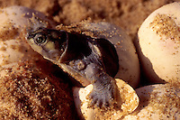 Green turtle hatching from the egg in Roraima State, Amazon rainforest, Brazil.