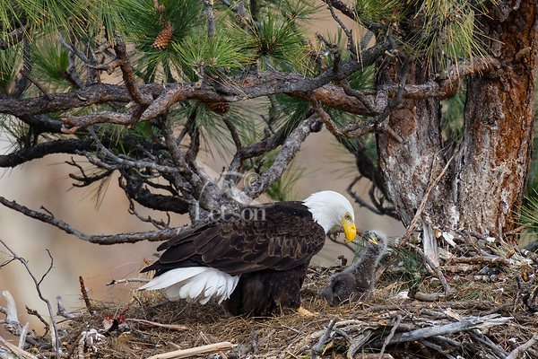 Bald Eagle Nest (Haliaeetus leucocephalus)--adult with young eaglet in tall ponderosa pine tree.  Oregon.  April.