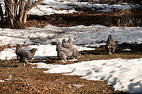 Barred rock hen chickens enjoy the first days of spring on a northern Michigan farm.