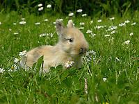 Zwergkaninchen, Zwerg-Kaninchen, Jungtier auf Wiese mit Gänseblümchen, dwarf rabbit
