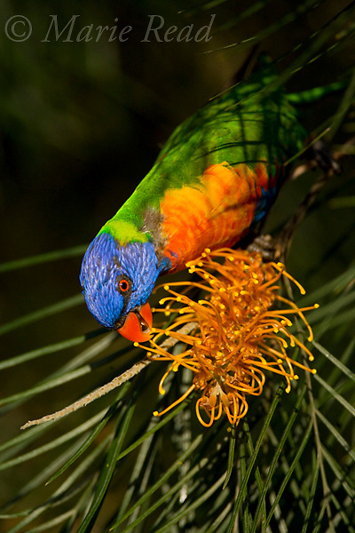 Rainbow Lorikeet (Trichoglossus haematodus) feeding on nectar from Grevillea flowers, Julatten, Queensland, Australia.