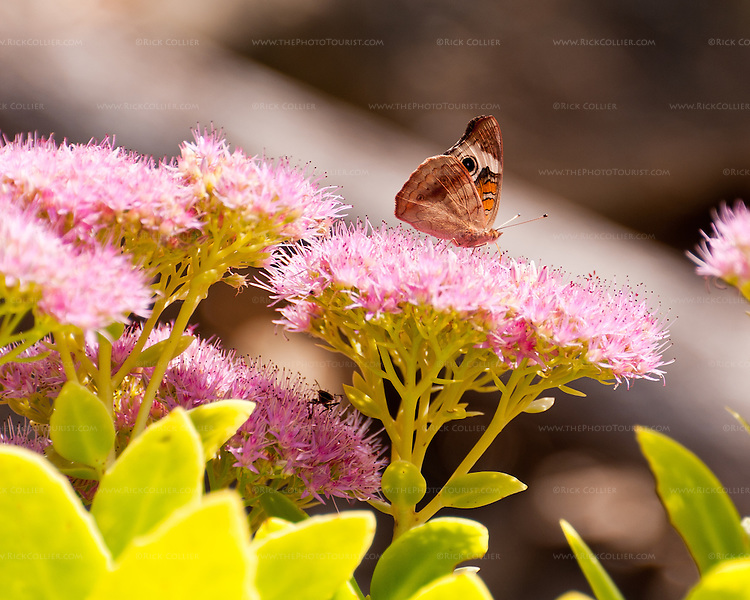 A butterfly explores flowers in the garden at Hillsborough Vineyards.