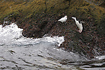 A chinstrap penguin and snowy sheathbill at Cooper Bay on South Georgia Island.