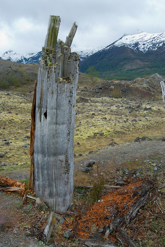 Standing Dead Tree Snag with Woodpecker Holes in the Hummocks, Mt. St. Helsns National Volcanic Monument, Washington, US