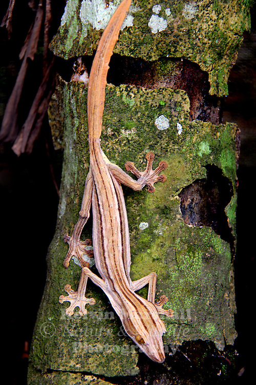 Lined leaf-tailed gecko (Uroplatus lineatus). The Uroplatus geckos are endemic to Madagascar and nearby islands. They are nocturnal arboreal lizards, found in forests, where they feed on insects. This gecko, found in eastern Madagascar, reaches lengths of around 27 centimetres.
