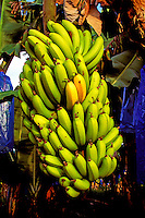 An abundant stalk of ripening bananas on the Big Island of Hawaii.