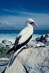 Masked, White or Nazca Booby, Sula dactylatra, adult, on rocky coastline, Galapagos, Ecuador