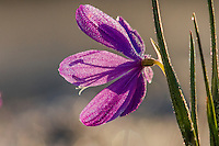 Grass Widow or blue-eyed grass (Sisyrinchium douglasii) wildflower covered with dew, Pacific Northwest.  February.  Grass widows are one of the earliest wildflowers to display in the Columbia River Gorge National Scenic Area.