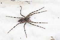 Fishing Spider; Dolomedes tenebrosus; on fungus beneath rotten log; PA, Philadelphia, Fairmount Park, Wissahickon