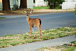 young blacktail buck in velvet in town