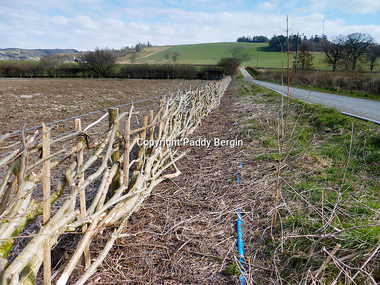 Hedge laying is a country skill, typically found in the United Kingdom and Ireland, which, through the creation and maintenance of hedges, achieves:<br /> - the formation of livestock-proof barriers;<br /> - rejuvenation of existing hedgerows, by encouraging them to put on new growth<br /> helping to improve their overall structure and strength, affording greater weather protection to crops and wildlife;<br /> - provision of aesthetically pleasing screens to fields and gardens.<br /> <br /> This hedge is being layed on The Aberystwyth University Farm Trawscoed, Llanafan, Ceredigion, West Wales.<br /> <br /> Stock photo by Paddy Bergin