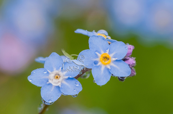 Forget-me-not (Myosotis ?) wildflower.  Pacific Northwest.