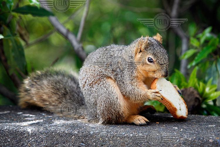 A squirrel eats a piece of bread in San Francisco, California.