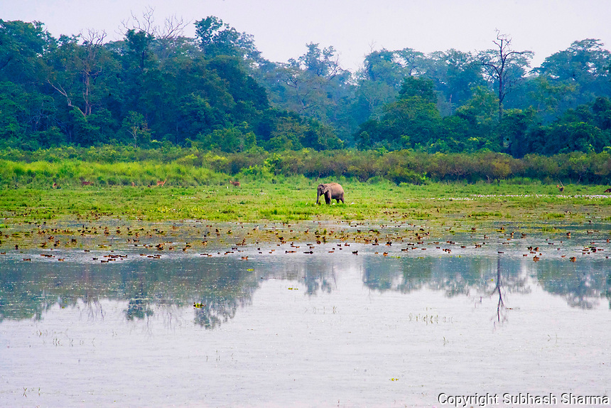 Silent Echoes Of Kaziranga: A Walk with Wild Asian Elephants