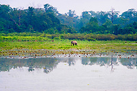 Silent Echoes Of Kaziranga: A Walk with Wild Asian Elephants