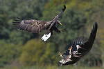 Eagles battle in the air, colliding into one another and clawing at each other's torsos as they fight for the right to feast first.  The White-tailed Eagles clash with each other near the river Weichsel, close to the city of Włocławek in Poland.<br /> <br /> The duels last around 30 seconds, and in one picture a young bird can be seen clattering into the ground on its back, as ravens look on in the foreground.  The birds are fighting over carcasses, which the winners will feast on, as the losers sit a few metres away waiting for leftover scraps with the ravens.  SEE OUR COPY FOR DETAILS.<br /> <br /> Please byline: Elmar Weiss/Solent News<br /> <br /> © Elmar Weiss/Solent News & Photo Agency<br /> UK +44 (0) 2380 458800