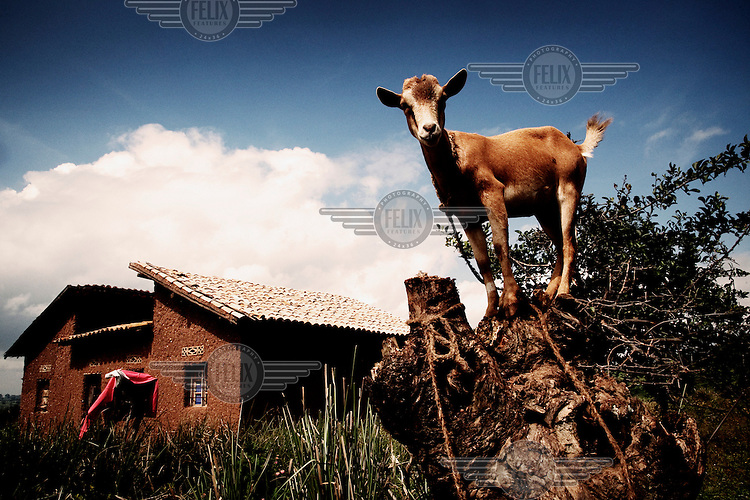 A goat stands on a tree stump beside a house.