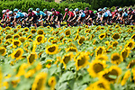 The peloton race by the sunflower fields during Stage 11 of the 2019 Tour de France running 167km from Albi to Toulouse, France. 17th July 2019.<br /> Picture: ASO/Alex Broadway | Cyclefile<br /> All photos usage must carry mandatory copyright credit (© Cyclefile | ASO/Alex Broadway)